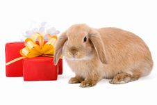 Free Lop Bunny And A Gift Box Royalty Free Stock Photo - 2735545