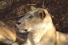 Free Lion Royalty Free Stock Photos - 2735758