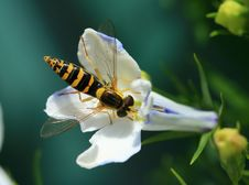 Free Hoverfly Macro Royalty Free Stock Photo - 2735805
