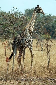 Free Giraffe Stock Photos - 2735833