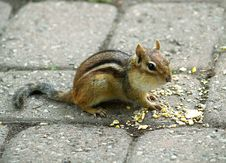 Free Chipmunk Royalty Free Stock Photos - 2736608