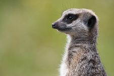 Free Single Meerkat Looking Out Royalty Free Stock Photos - 2737438