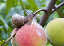 Free Snail On A Peach Stock Images - 2738704