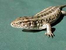 Free Lizard Stock Image - 2739741