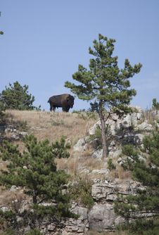 Free American Bison Stock Images - 27308634
