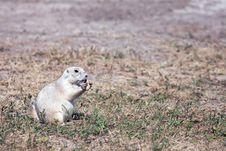 Free Prairie Dog Royalty Free Stock Photo - 27308645
