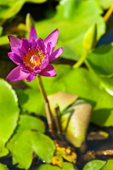 Free The Lotus Is Violet Stock Photo - 27311190