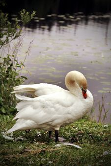 Free Swan Royalty Free Stock Photography - 27319057
