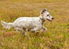 Free Setter Runs On Green Grass. Horizontal. Royalty Free Stock Photography - 27319207