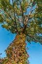 Free Maple Tree Stock Photo - 27321620