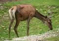 Free Red Deer Royalty Free Stock Photo - 27322775