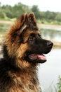 Free Germany Sheep-dog Royalty Free Stock Images - 27324789