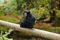 Free A Siamang Gibbon On A Log Stock Photo - 27325460