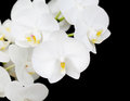 Free White Orchid Flowers Closeup Stock Photos - 27329503