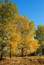 Free Fall Trees Royalty Free Stock Photography - 27329617