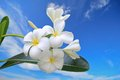 Free Frangipani Under The Sky Royalty Free Stock Photos - 27329918