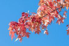 Maple Tree Royalty Free Stock Photos