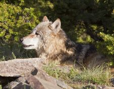 Adult Wolf Lying Under A Tree Royalty Free Stock Image