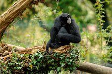 Free Siamang Gibbon Royalty Free Stock Images - 27325319