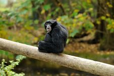 Free A Siamang Gibbon On A Log Stock Photo - 27325460
