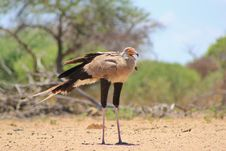 Free Secretary Bird - African Voice Stock Images - 27328914