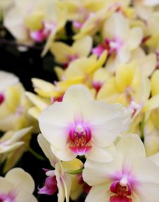 Yellow Orchid Flowers Closeup Royalty Free Stock Photos