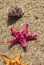 Free Pink Starfish And Shells On The Beach Royalty Free Stock Photography - 27325147