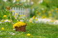 Free Basket Of Yellow Dandelion Flowers On Lawn Stock Images - 27333134