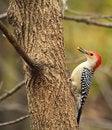 Free Red-bellied Woodpecker, Melanerpes Carolinus Royalty Free Stock Photo - 27334665