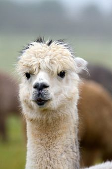 Free Alpaca Portrait Royalty Free Stock Images - 27331739