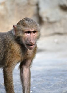 Free Young Baboon Stock Images - 27332864