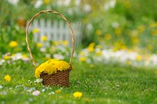 Basket Of Yellow Dandelion Flowers On Lawn Stock Images