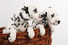 Free Dalmatian Puppy Royalty Free Stock Photos - 27339458