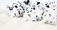 Free Dalmatian Puppy Royalty Free Stock Photos - 27339648