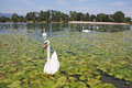 Free Flock Of Swans Royalty Free Stock Photography - 27340357