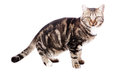 Free European Cat In Front On A White Stock Photo - 27343580