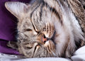 Free Very Beautiful Young European Cat Sleeps Stock Photography - 27343772