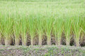 Free Rice In The Rice Field Royalty Free Stock Photography - 27345077