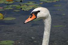 Free Swan Stock Photo - 27340470