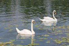 Free Two White Swans Stock Photography - 27341862