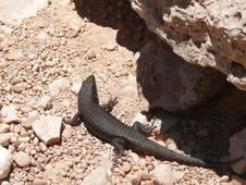 Free Black Lizard In Stones. Royalty Free Stock Photos - 27342828