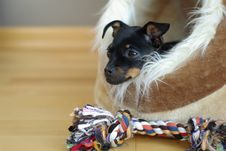 Free Cute Puppy Of Russian Toy-terrier Stock Photography - 27343152