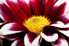 Free Bright Red Flower With The Yellow Middle Royalty Free Stock Photo - 27343835