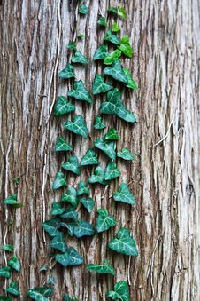 Free Green Ivy Leaves On Tree Bark Royalty Free Stock Photography - 27343987