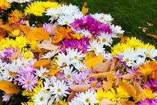 Free Colorful Bushes Chrysanthemums In The Garden Royalty Free Stock Photo - 27344335