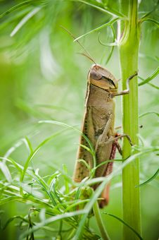 Free Brown Grasshopper Clings On Green Plant Branch Stock Images - 27345164
