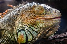 Free Closeup An Iguana Face Royalty Free Stock Image - 27345256