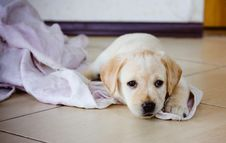 Free Labrador Retriever Puppy Stock Photo - 27345520