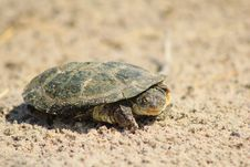Free Water Terrapin - Where Is Your Shell  Stock Images - 27346424