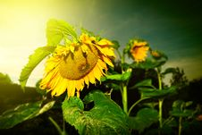 Free Sunflower Royalty Free Stock Images - 27346739